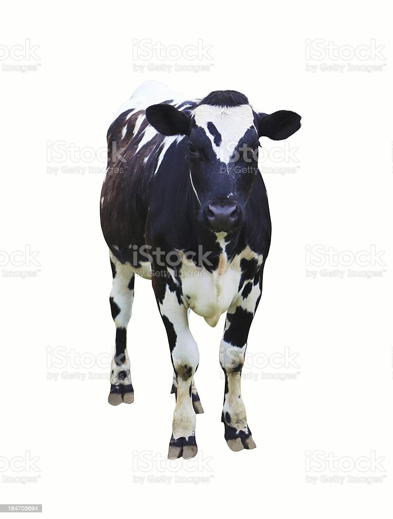 Dairy cow on isolated white background royalty-free stock photo