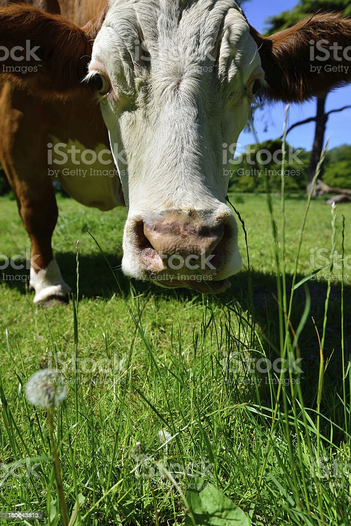 Dairy cow. royalty-free stock photo