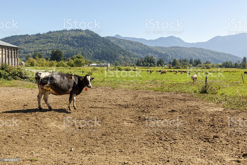 Dairy Cow royalty-free stock photo
