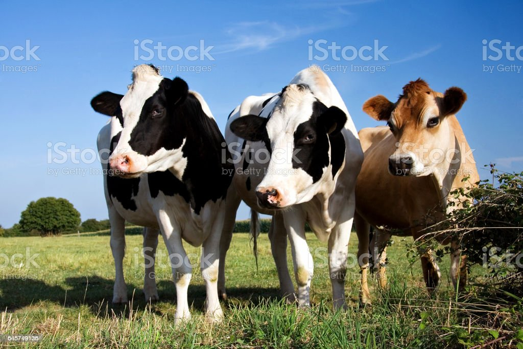 Dairy cow trio stock photo