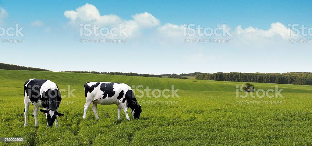 Dairy cows grazing on summer farm fields. stock photo