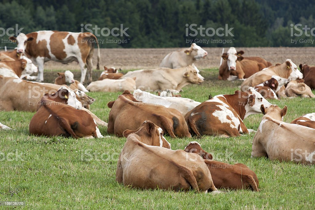 Dairy cows in pasture stock photo