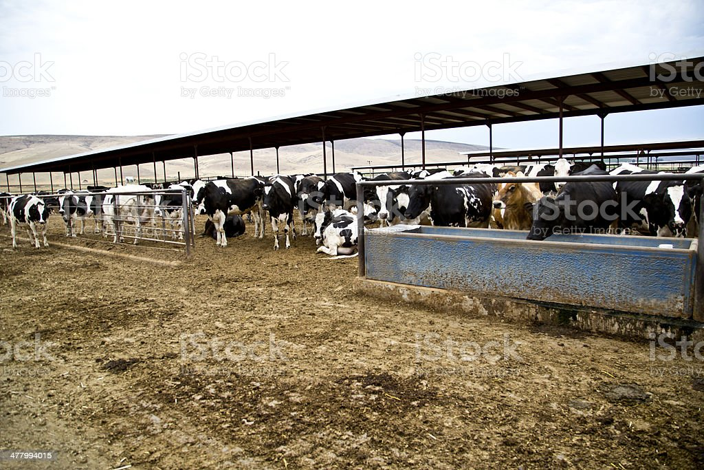 Dairy Cows royalty-free stock photo