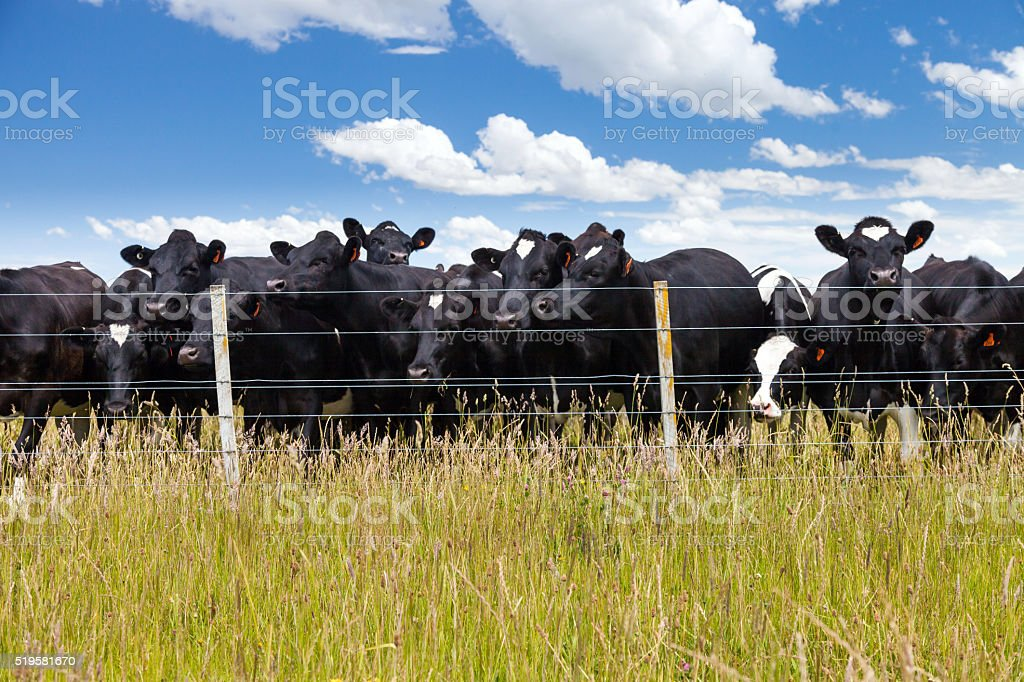 Dairy cows standing in grassy field stock photo