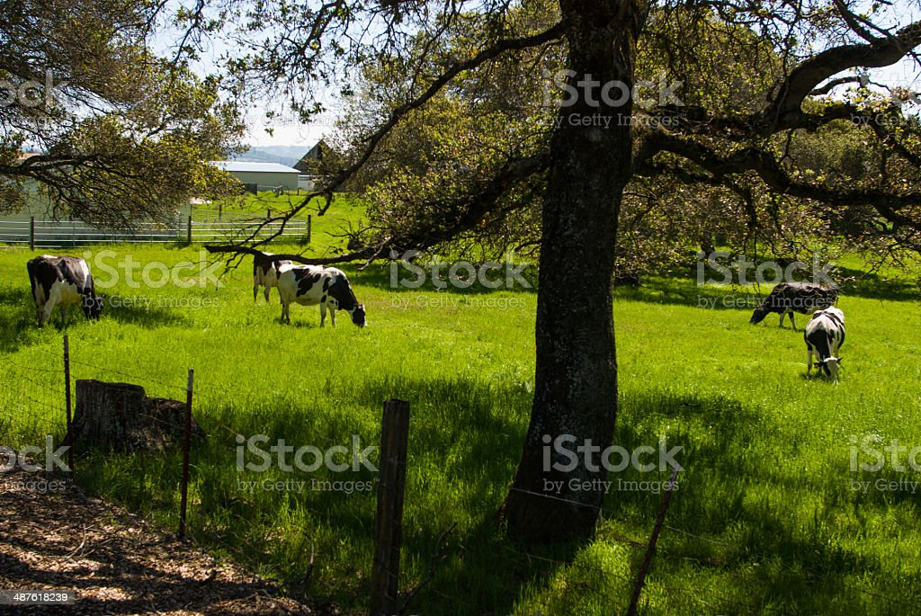 Dairy Farm and Cows near Petaluma Sonoma County California stock photo