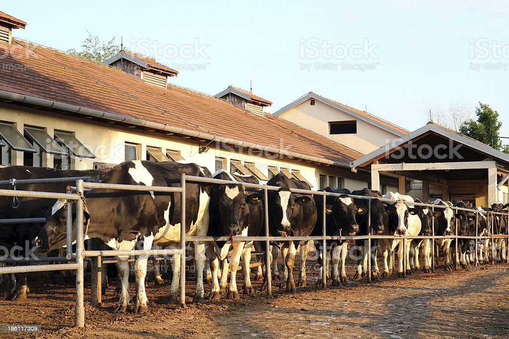 Dairy Farm and Milking Cows royalty-free stock photo