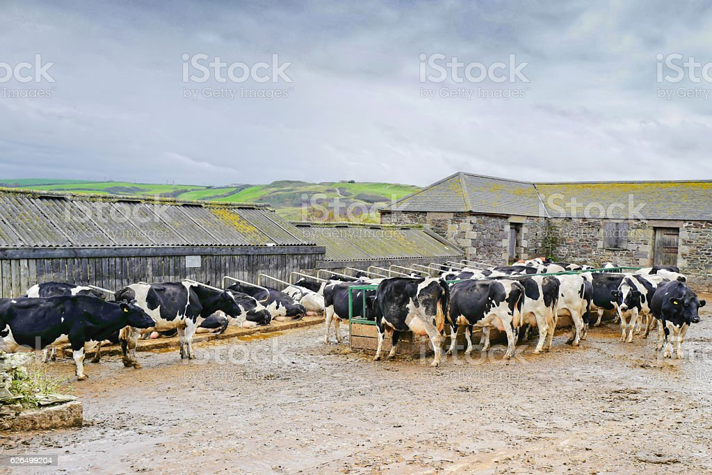 Dairy Farming. stock photo
