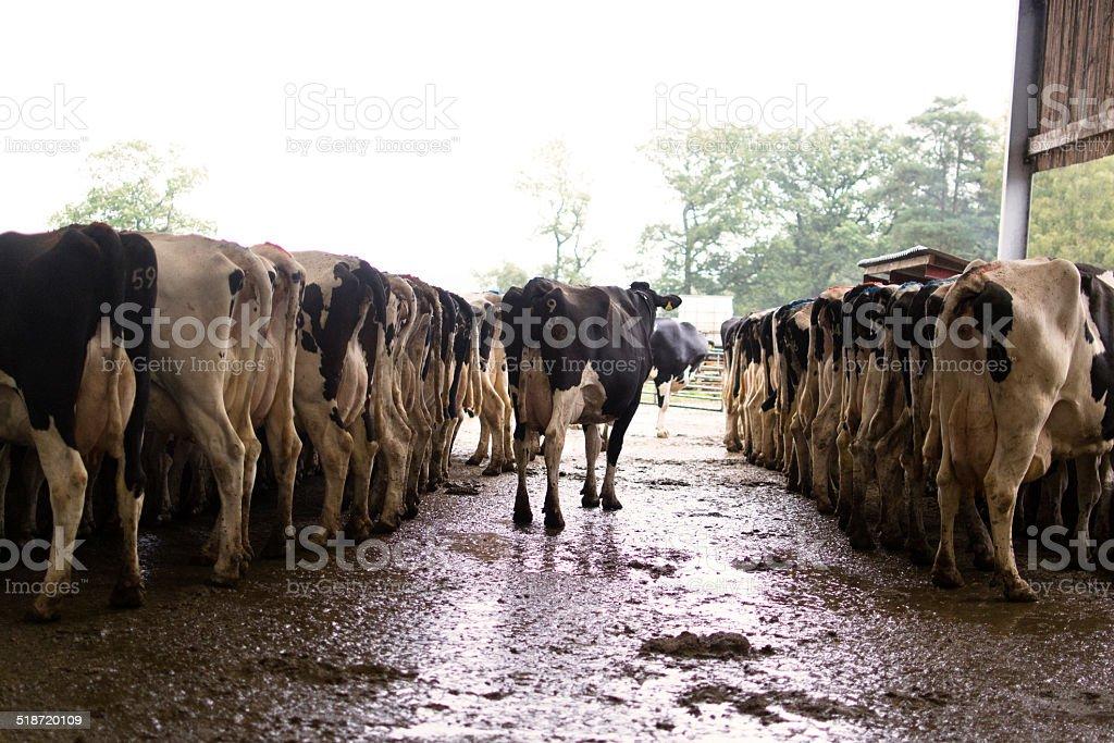Dairy herd stock photo