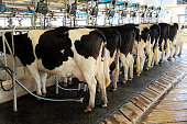 Dairy milking cow