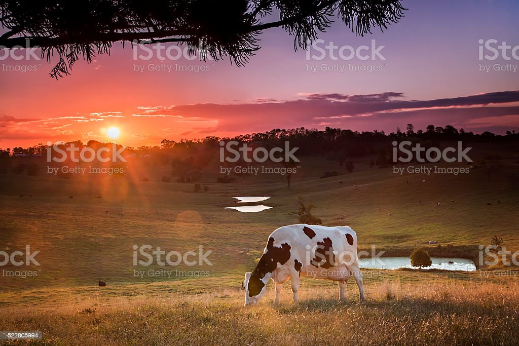 Dairy Sunset stock photo