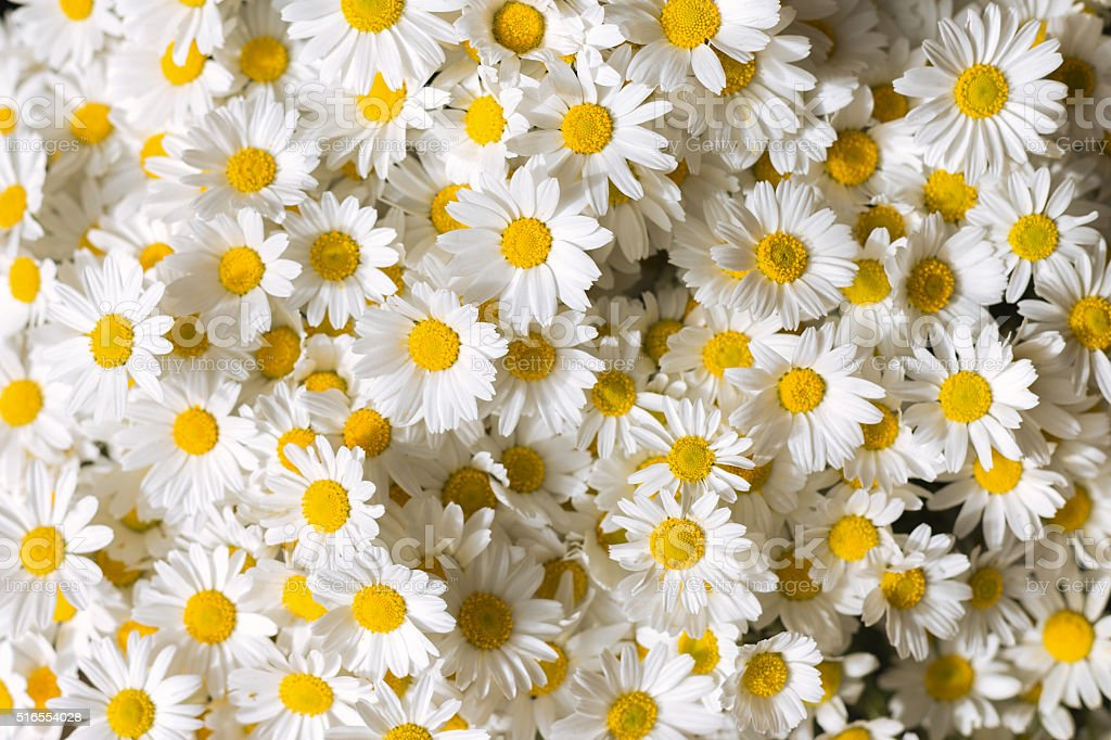 Daises flowers stock photo