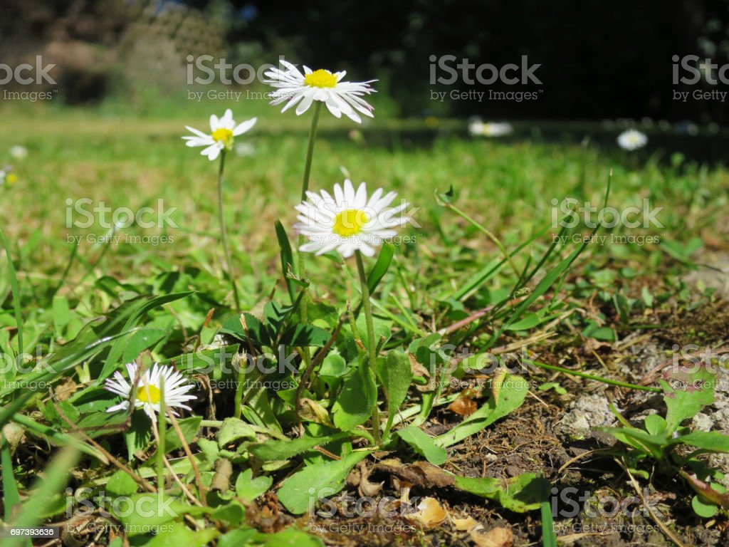 Daises growing in a lawn in an English garden during Summer. stock photo