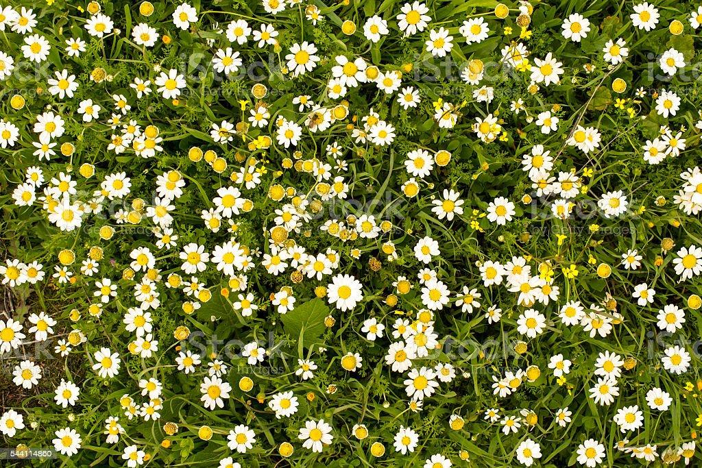 daises stock photo