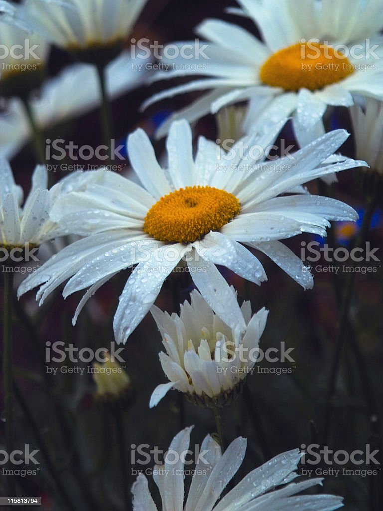 Daisies After the Rain II royalty-free stock photo