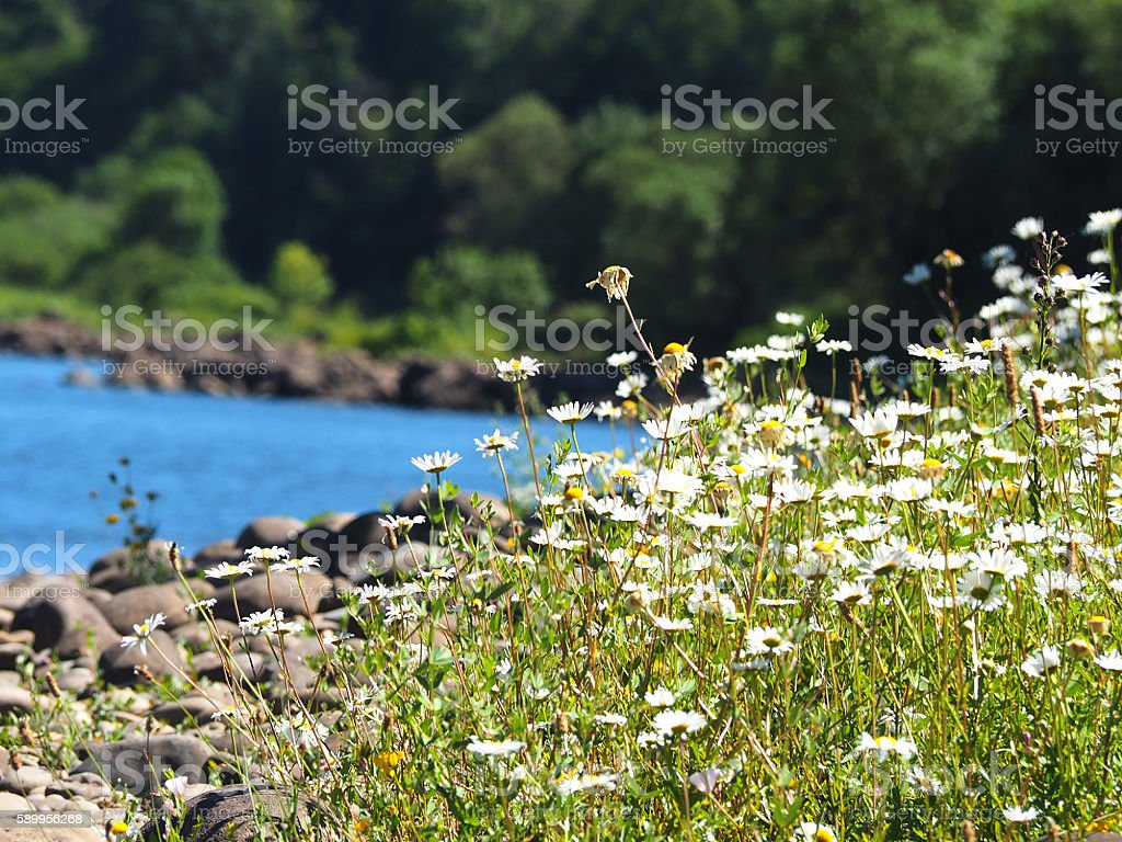 Daisies along the Williamette River OR stock photo