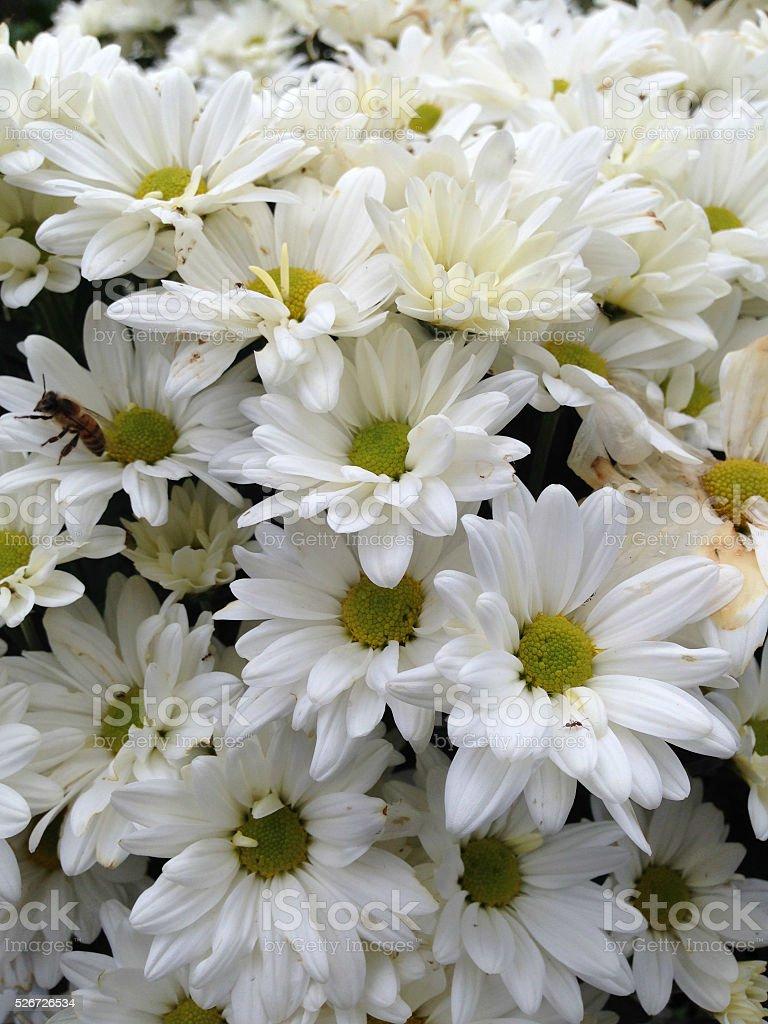 Pâquerettes et abeille photo libre de droits