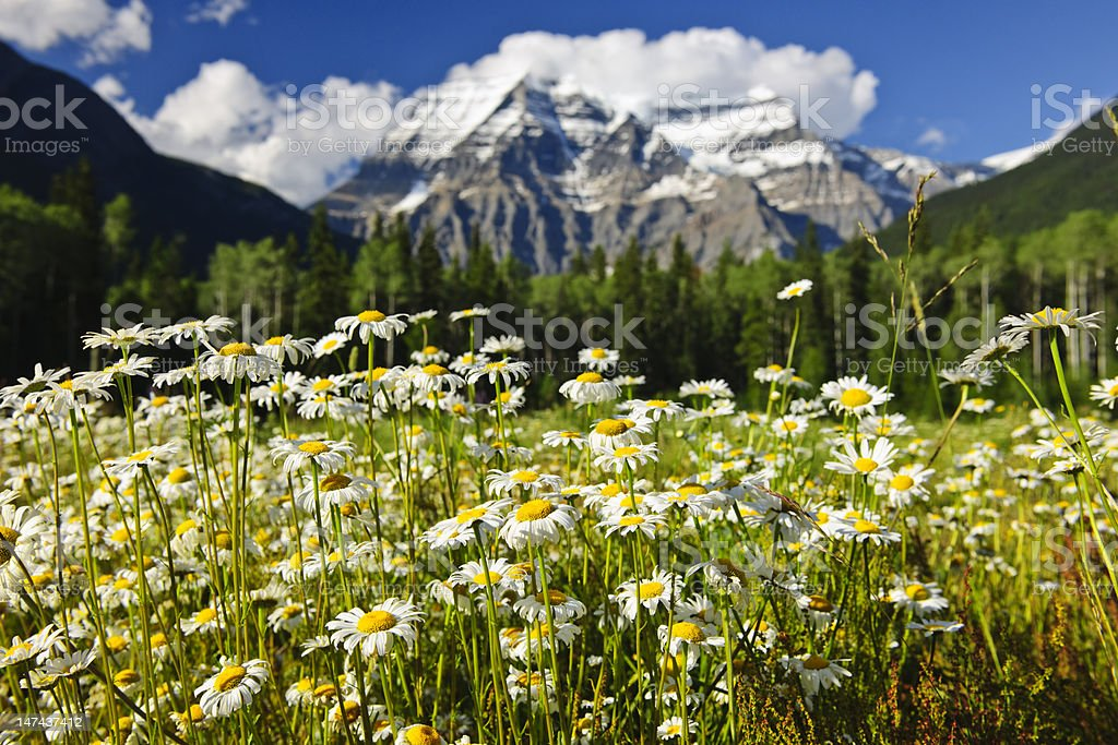 Daisies at Mount Robson provincial park, Canada stock photo