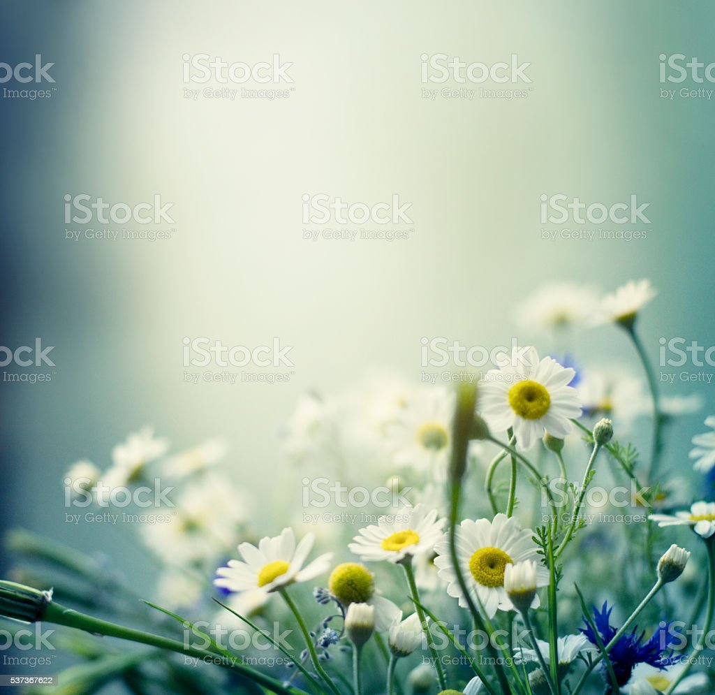 Daisies background stock photo