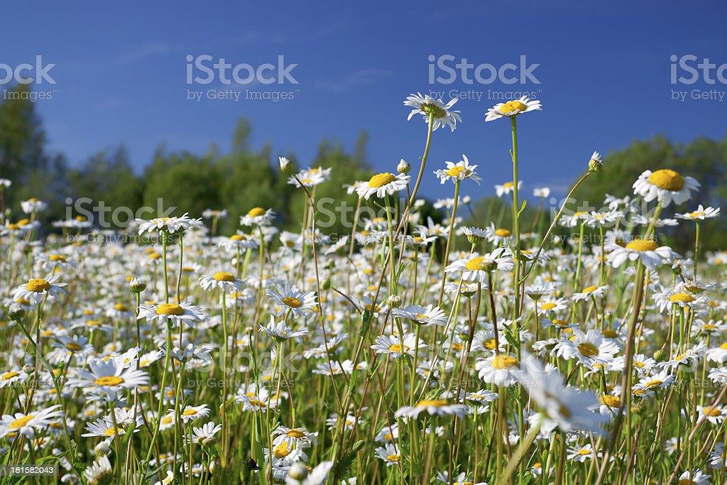 daisies blossom royalty-free stock photo