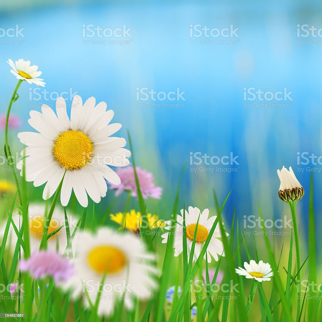 Daisies By The Lake stock photo