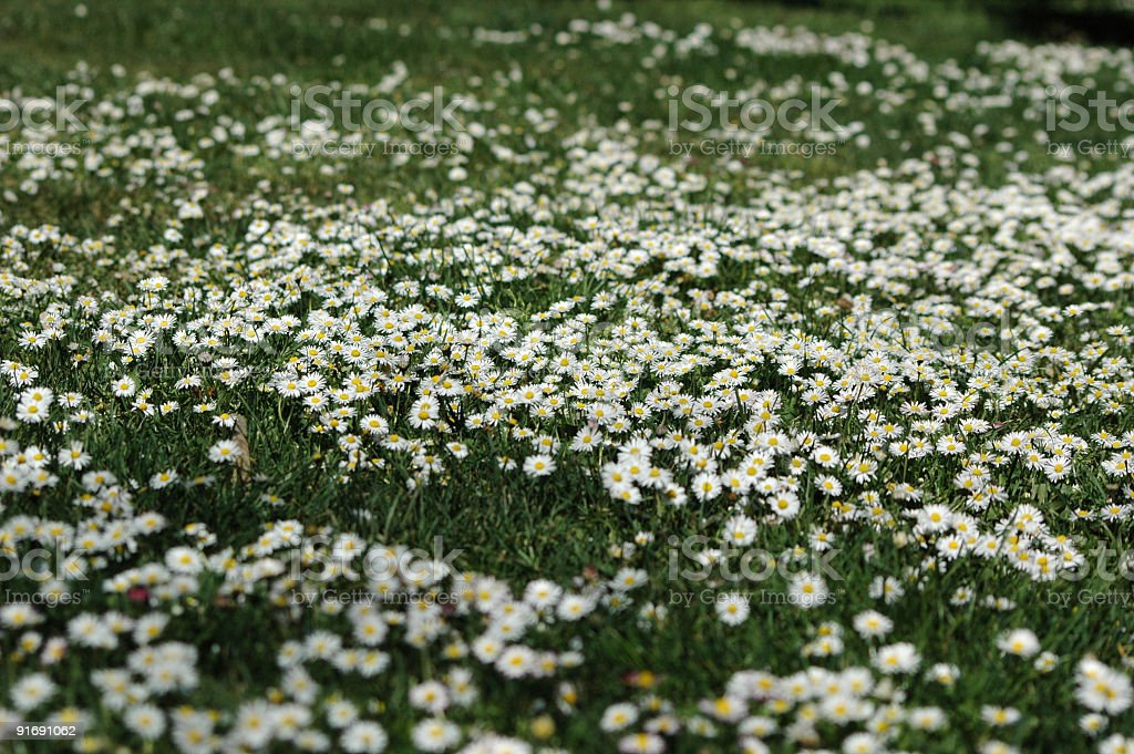 daisies carpet stock photo