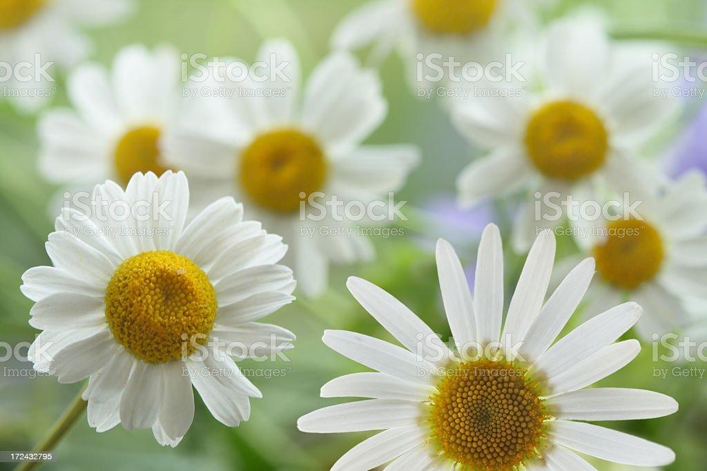 Daisies Close-up royalty-free stock photo