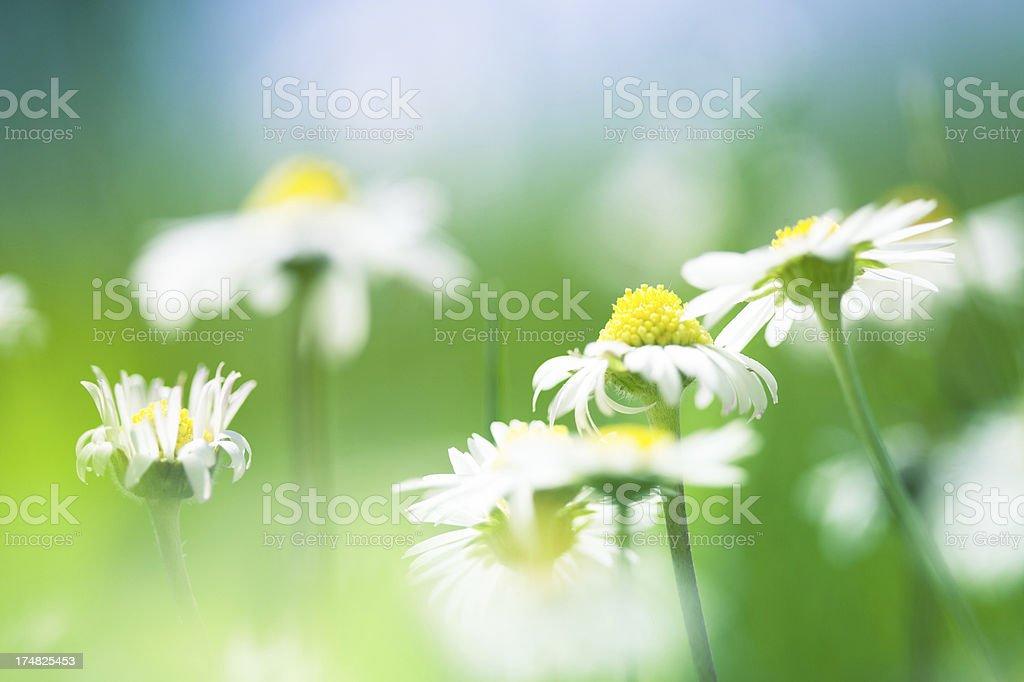 Daisies, close-up royalty-free stock photo