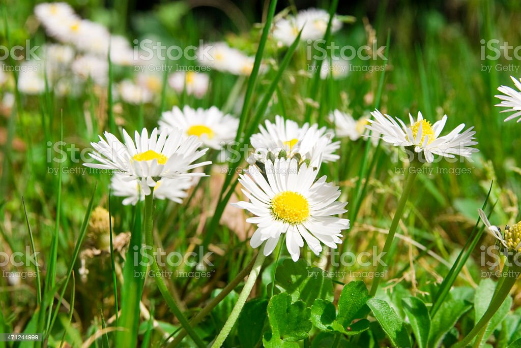 daisies field full of flowers in spring stock photo