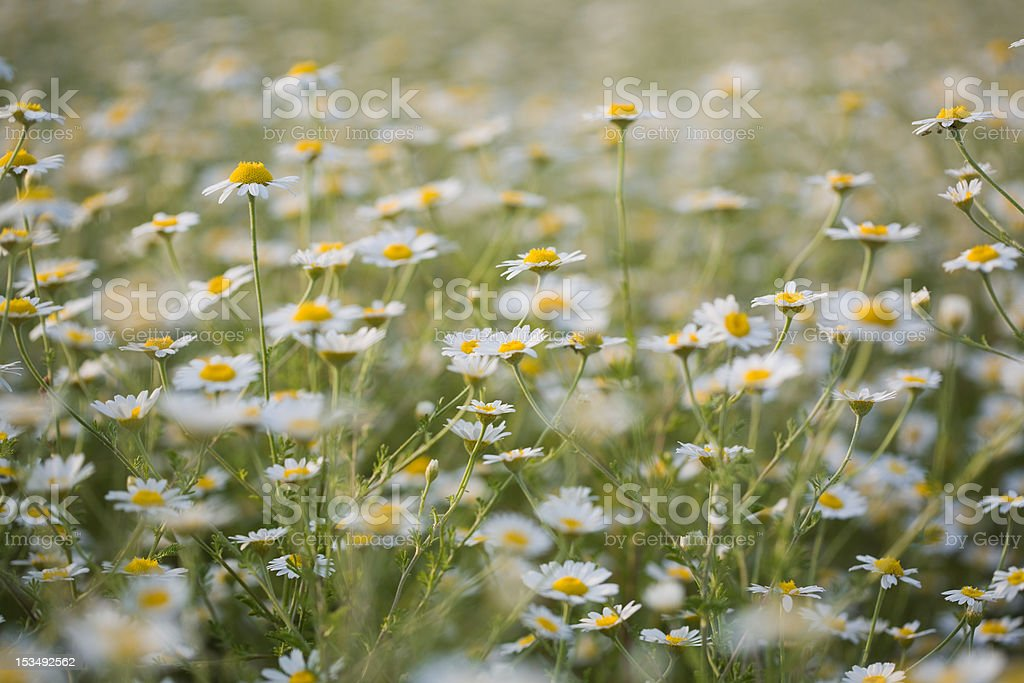 Daisies field stock photo