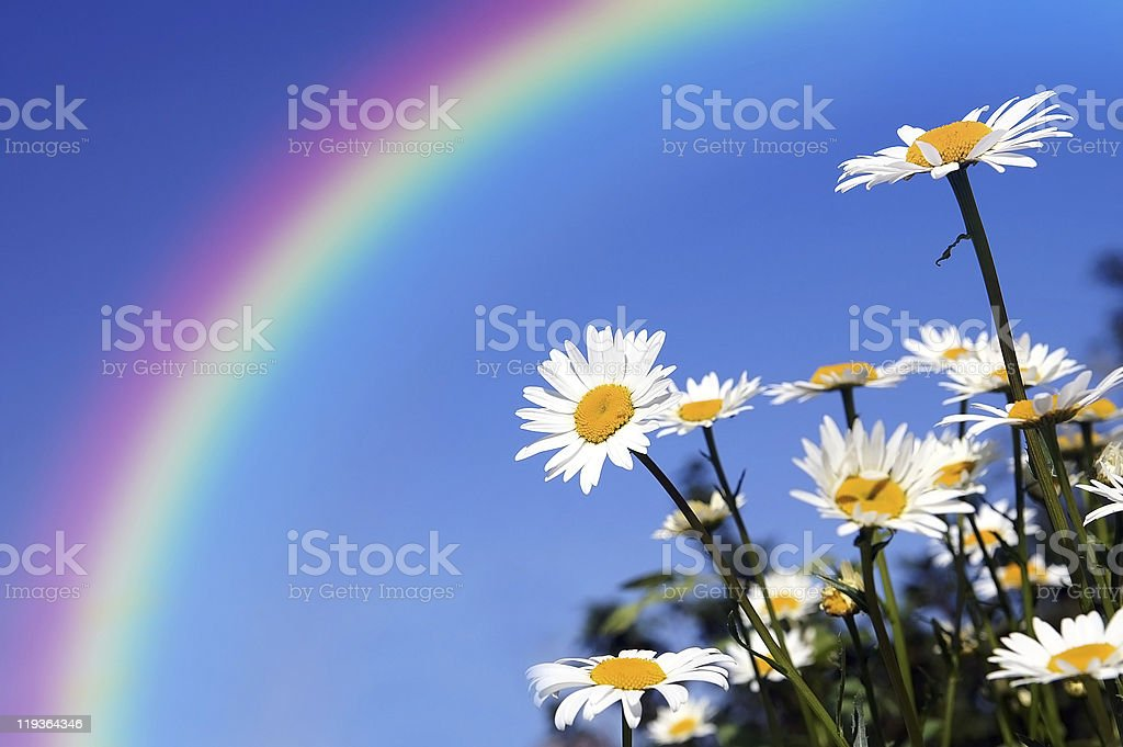 Daisies field under a rainbow protection stock photo