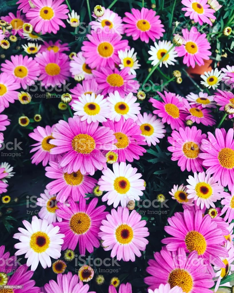 Daisies for sale on Paris street market, France stock photo