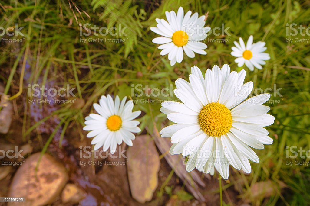Daisies growing by small brook royalty-free stock photo