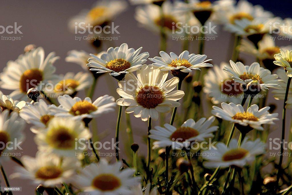 Daisies II royalty-free stock photo
