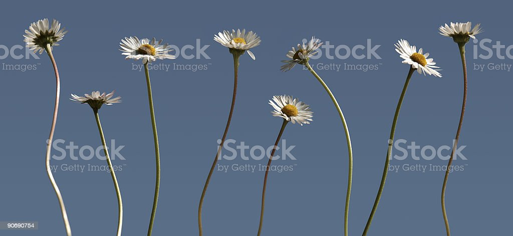 Daisies in a row royalty-free stock photo