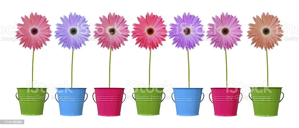 Daisies in colorful pots XL royalty-free stock photo