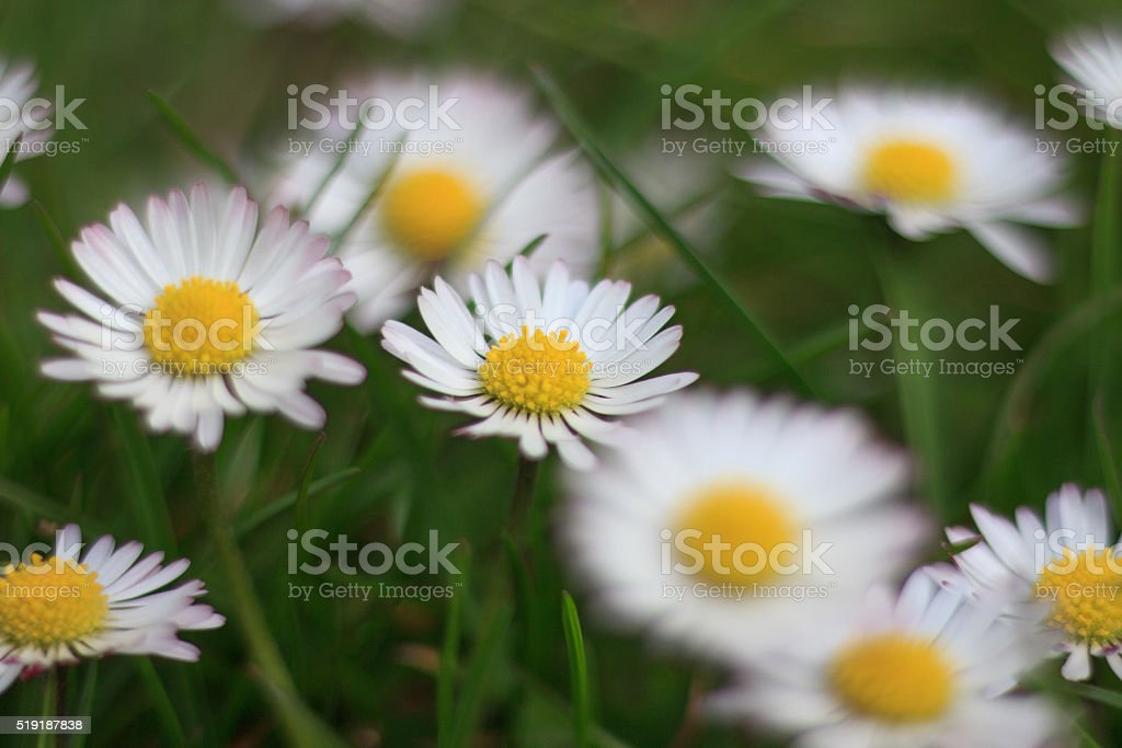 daisies in meadow, white daisy flower macro stock photo