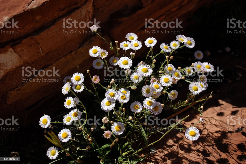 Daisies in the desert royalty-free stock photo