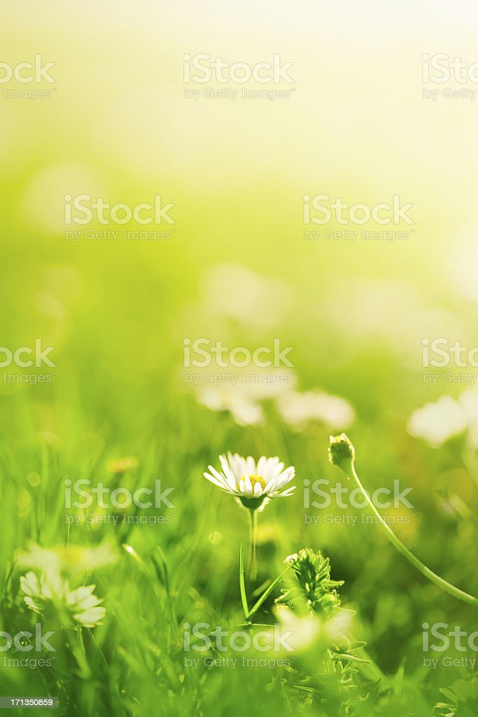 Daisies in the field royalty-free stock photo