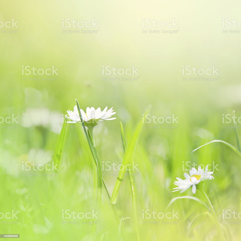 Daisies in the field. royalty-free stock photo