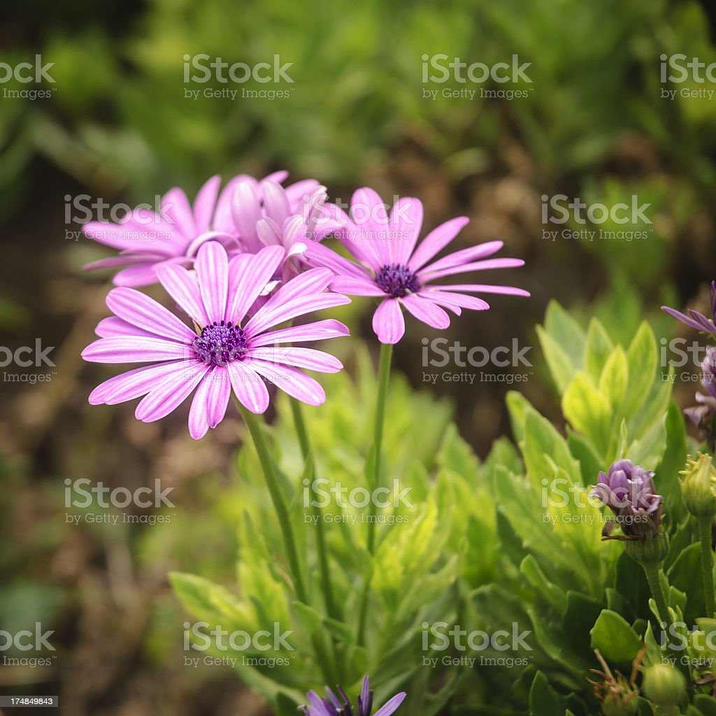 Daisies in the garden royalty-free stock photo
