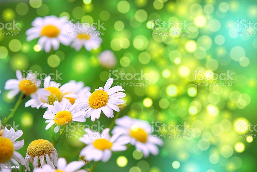 daisies in the garden stock photo