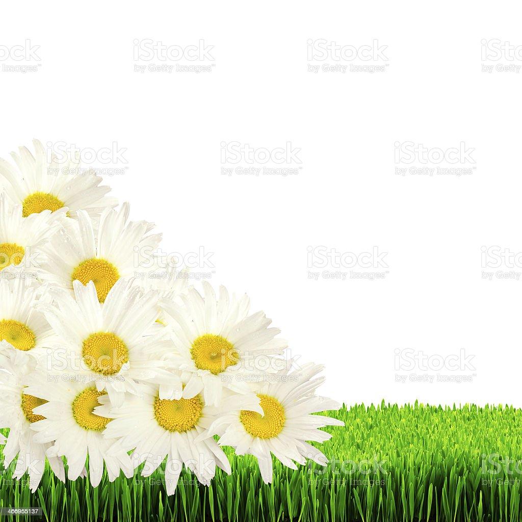 Daisies dans l'herbe isolé sur fond blanc photo libre de droits