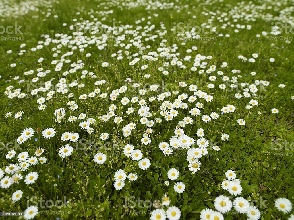 Daisies in the Grass royalty-free stock photo