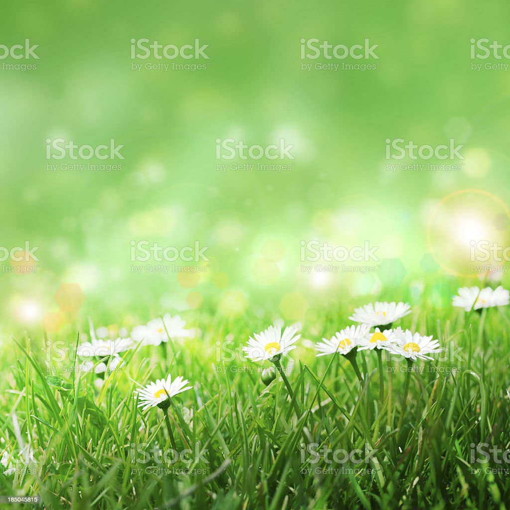 Daisies in the grass, royalty-free stock photo