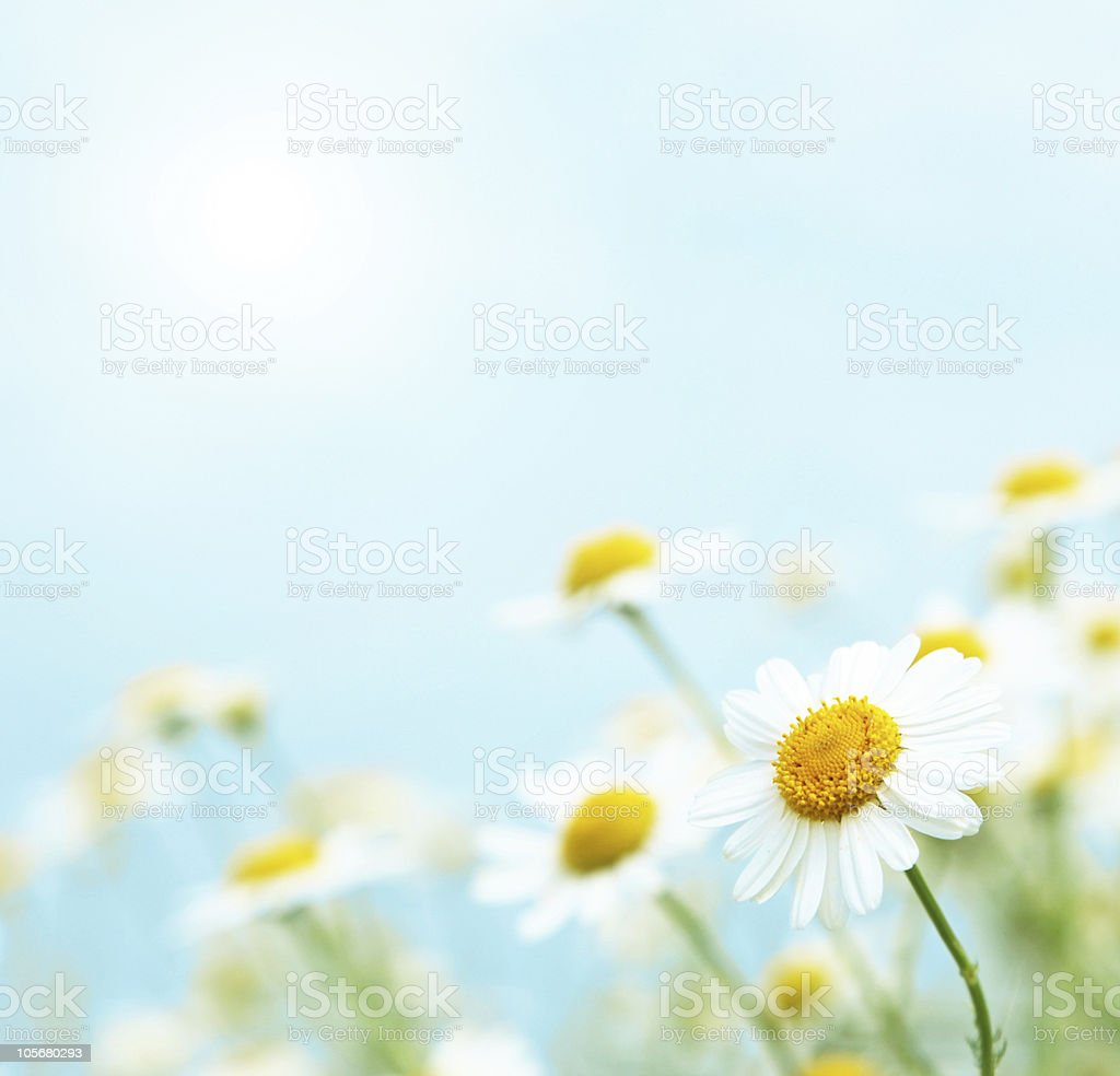 Daisies in the morning. stock photo