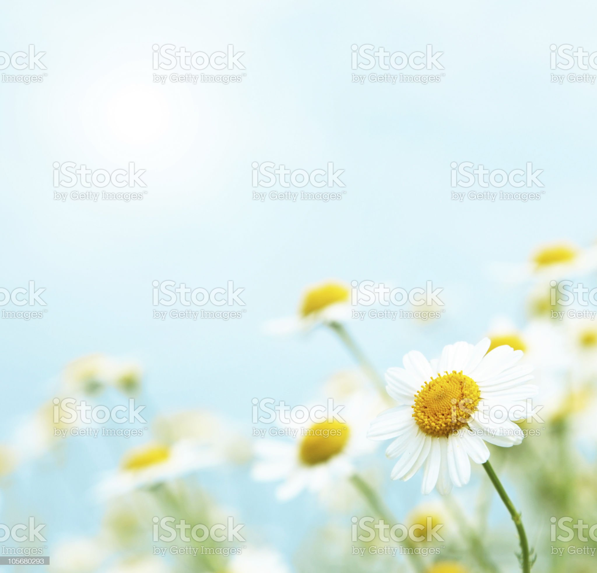 Daisies in the morning. royalty-free stock photo