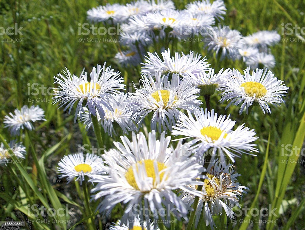 Daisies in the Praries stock photo