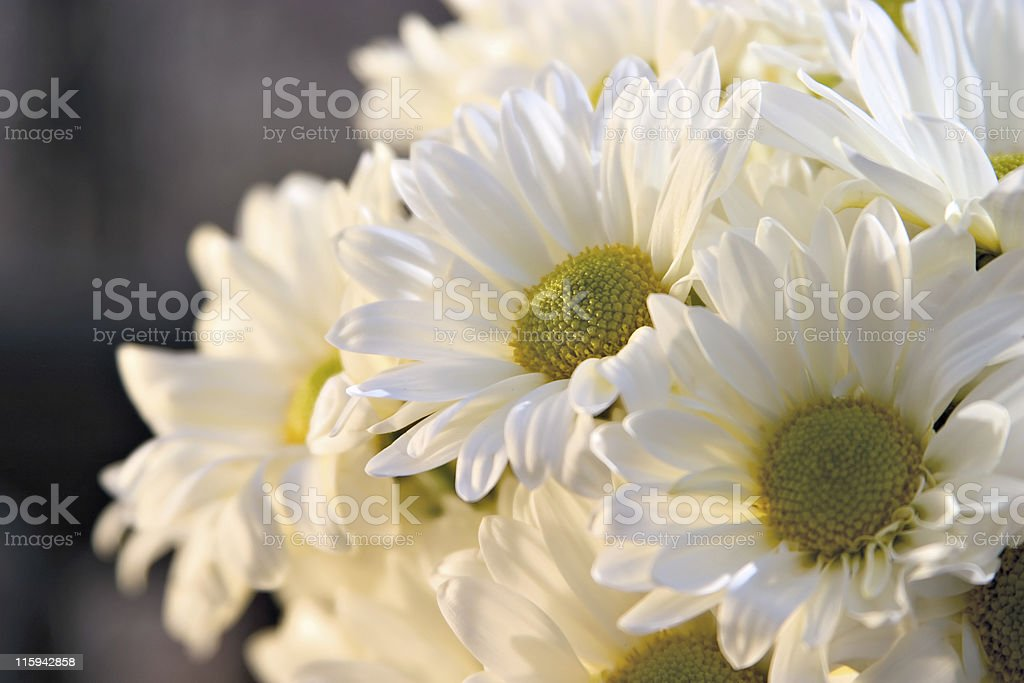 Daisies in the sun light royalty-free stock photo