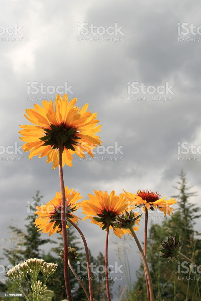 Daisies in the Wild royalty-free stock photo