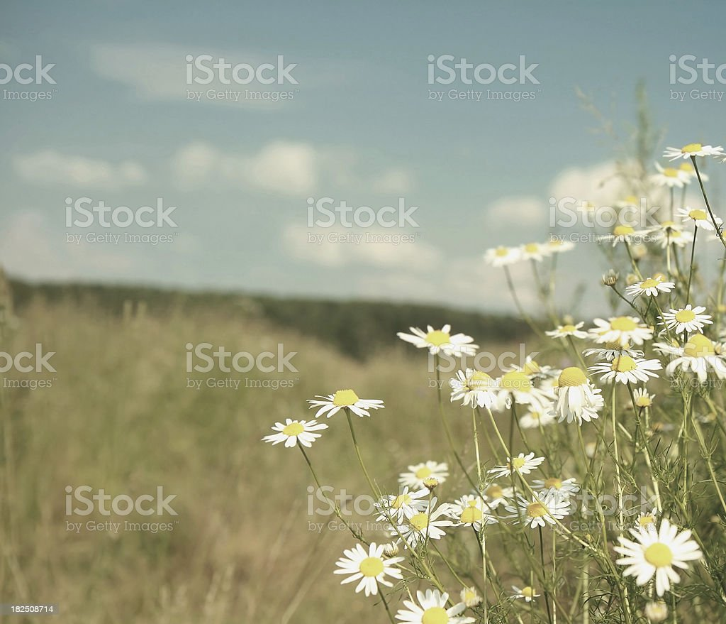 Daisies In Wild Meadow royalty-free stock photo